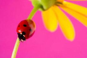1013-pink-ladybug2.jpg