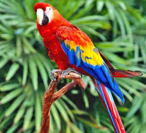 parrot-bird-to-talk-300x275