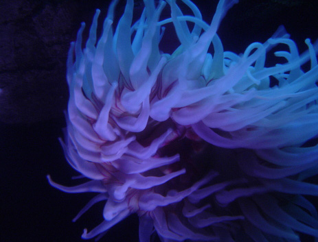 glowing_sea_anemone.jpg